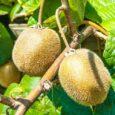 La pianta dell'Actinidia chinensis è originaria della Cina meridionale, in questa regione si coltivava già 700 anni fa. Il suo frutto era considerato una prelibatezza dagli imperatori cinesi che l'adoperavano […]