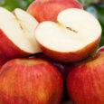 """Quella che di fatto è considerata dai più la regina delle mele, la mela annurca, sarà la protagonista del weekend al mercato contadino di Fuorigrotta a Napoli durante gli """"Annurca […]"""