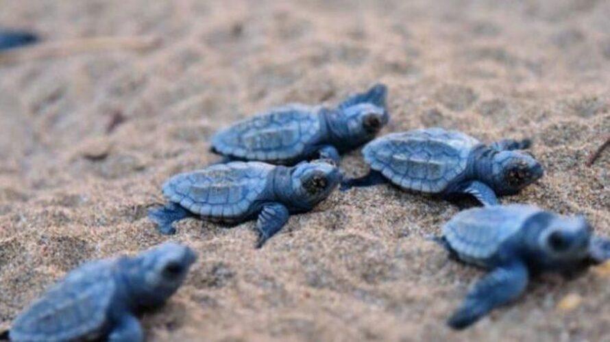 di Luigi De Rosa Estate, tempo di schiuse dei nidi di tartaruga marina. A partire da metà giugno potrebbe capitare di imbattersi nelle schiuse di uova di tartaruga marina, evento […]